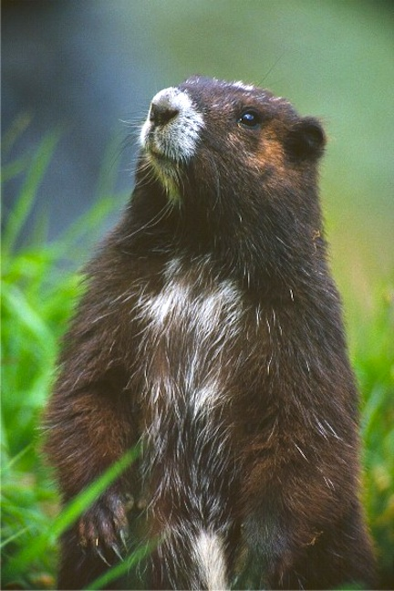 Why Is The Vancouver Island Marmot Endangered